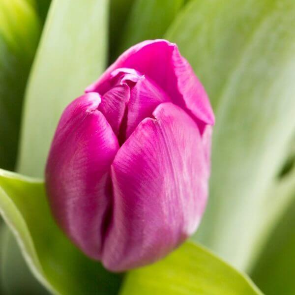 Blandede Tulipaner, detalje 2