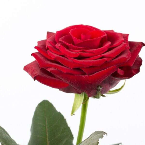 Langstilket rød Rose, detalje 3