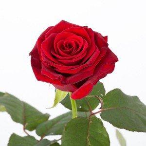 Langstilket rød Rose, fuld