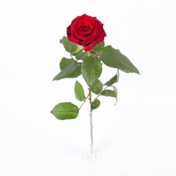Langstilket rød Rose, detalje 2