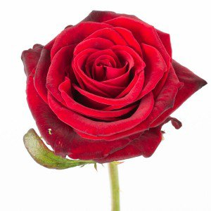 Langstilket rød Rose, detalje 1