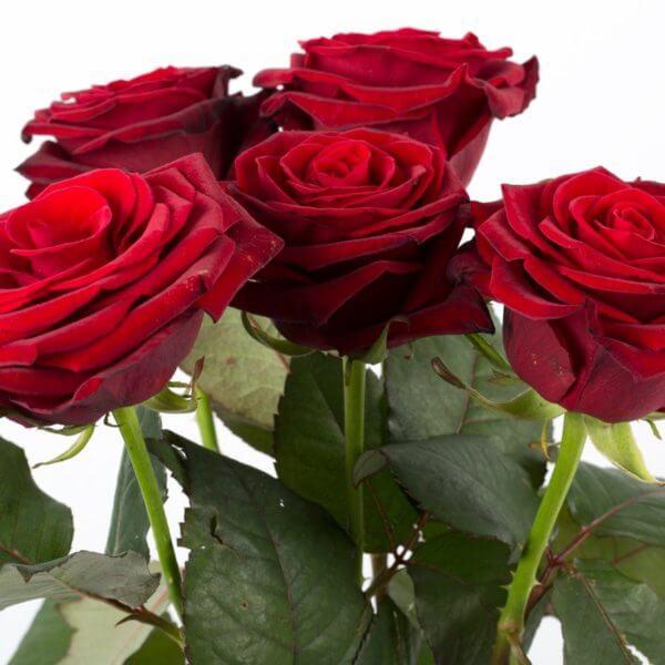 5 Langstilkede røde Roser, fuld