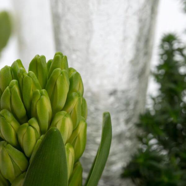 Hvid Julesammenplantning, detalje, hyacint