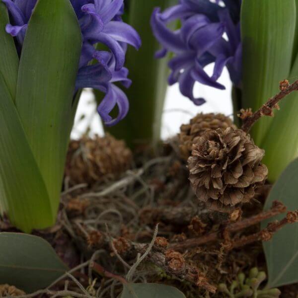 Hyacint sammenplantning, detalje, kogle