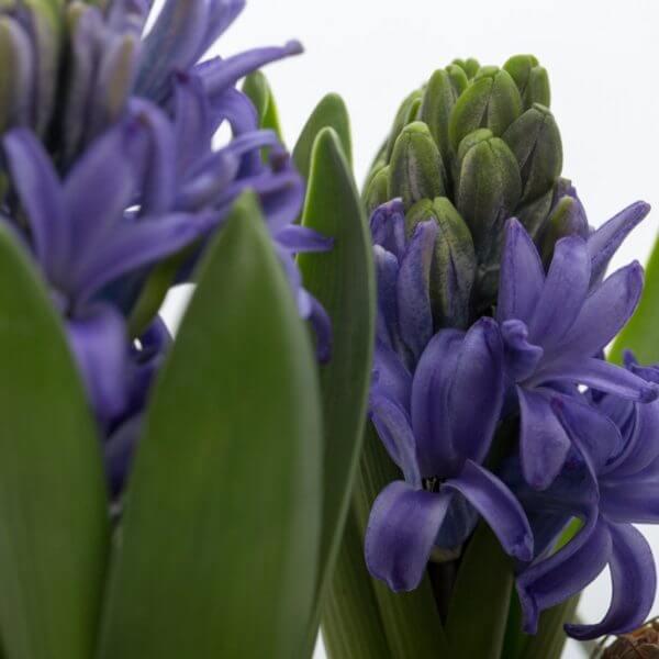Hyacint sammenplantning, detalje, Hyacint