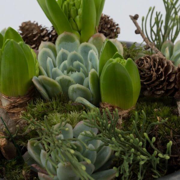 Julesammenplantning, hyacint og husløg, detalje 2