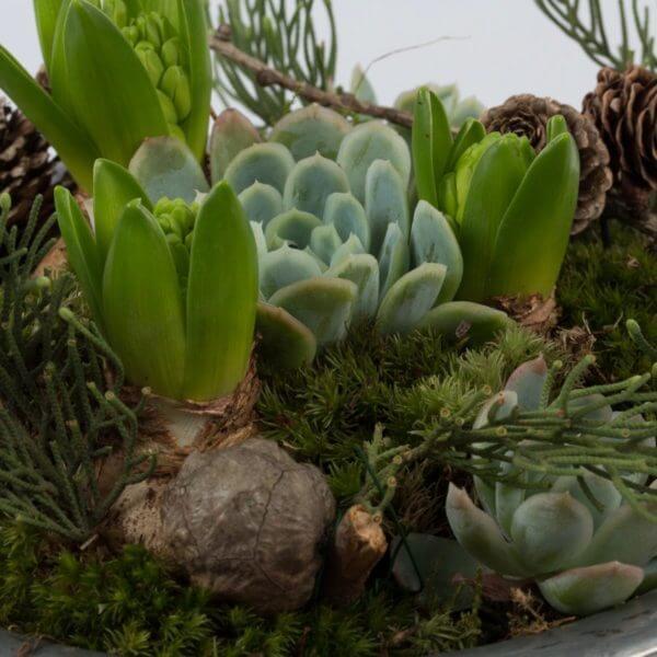 Julesammenplantning, hyacint og husløg, detalje 3