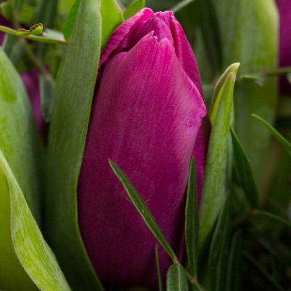Lilla Tulipaner, detalje 2