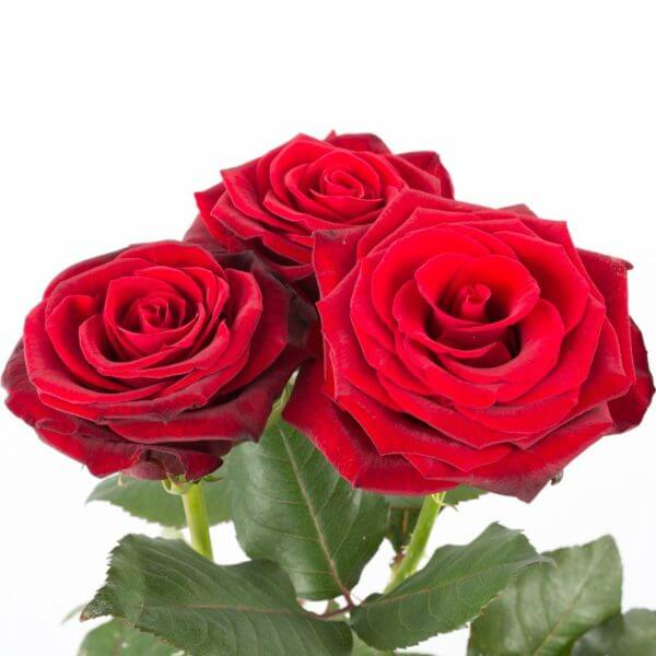 3 Langstilkede røde Roser, zoom 2